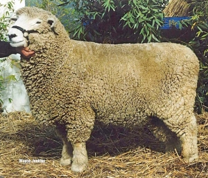 sheep Romney sheep